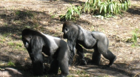 Pair-of-gorillas