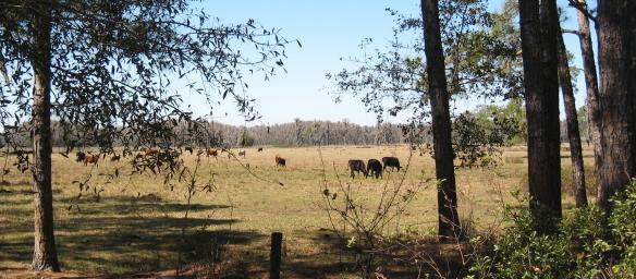 cattle-field1