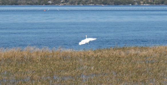 egret-landing