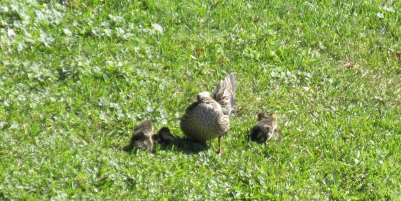 mama-duck-etal
