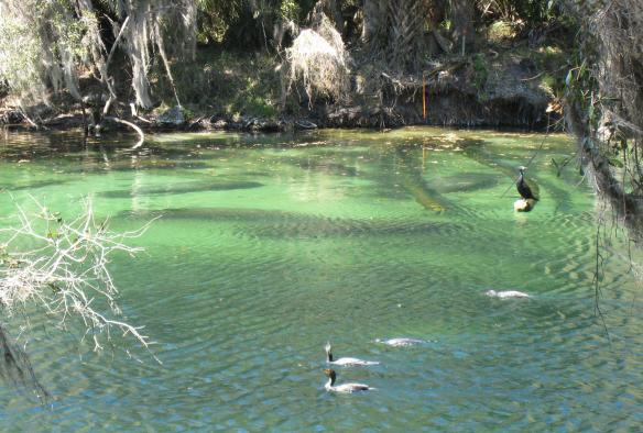 manatees-and-cormorants