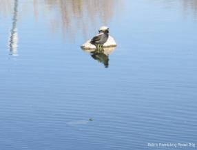 A turtle and a Coot share the rock while another turtle sticks its head up out in front.